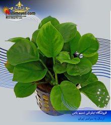 گیاه آنوبیاس بارتری کوتوله پلنت