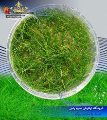 گیاه الوئوکاریس چمنی کف پوش پلنت