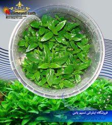 گیاه استروژن ریپنس پلنت کد ۶۰۸