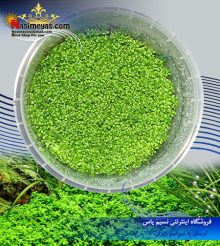 گیاه همیانتوس کوبایی – اشک بچه پلنت کد 616