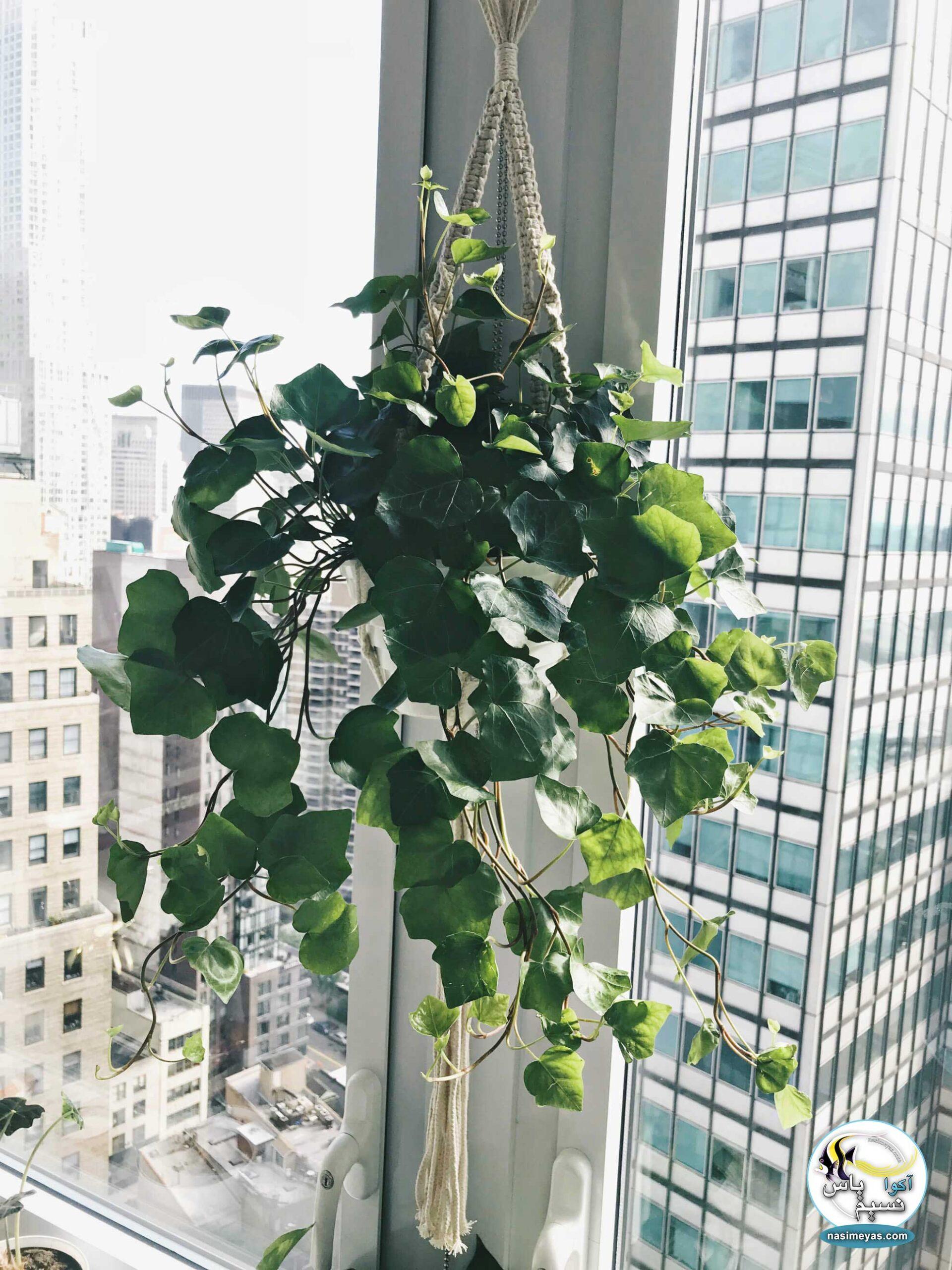 گیاه پیچک انگلیسی سبز ENGLISH GREEN IVY