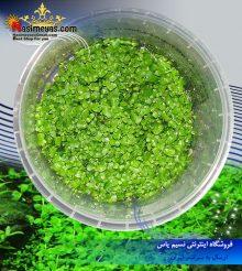 گیاه مونت کارلو پلنت کد 617