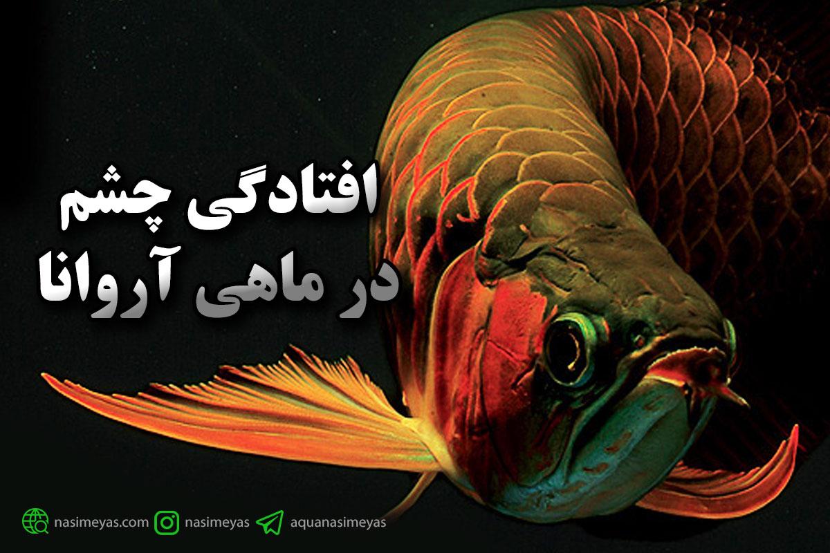 افتادگی چشم در ماهی آروانا