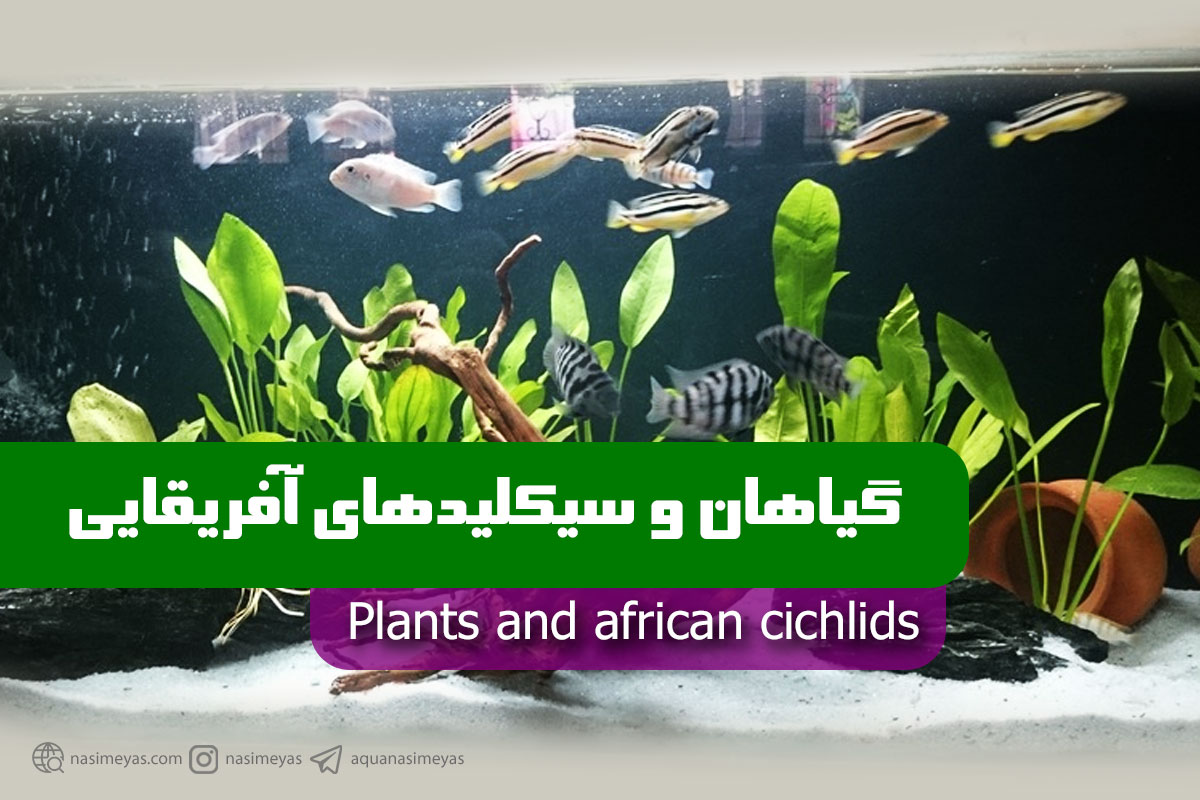 گیاهان و سیکلید های آفریقایی