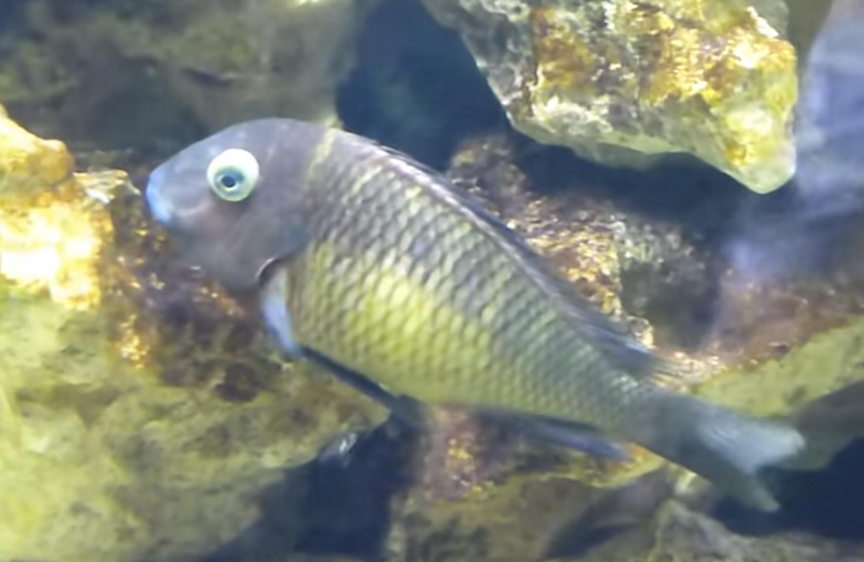 بیماری باد کردن ماهی مالاوی