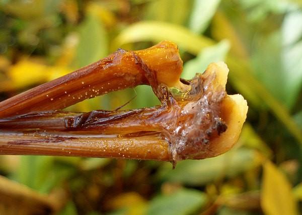 شیشهای شدن ریزومها، نشان دهنده بیمارشدن آنابیاس