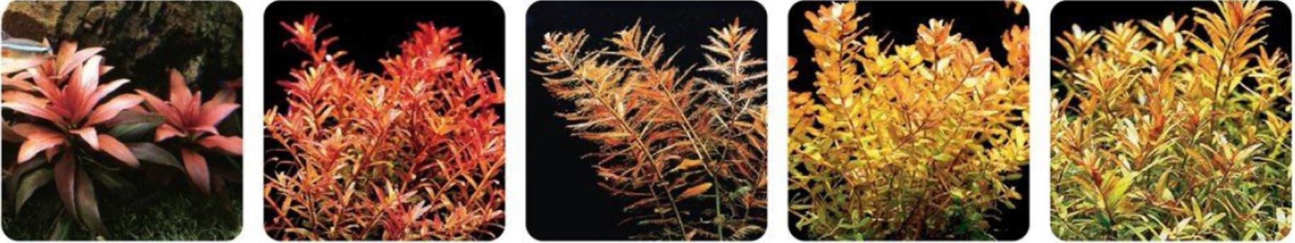 رنگ قرمز در آکواریوم گیاهی