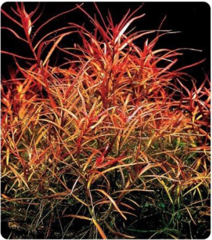 گیاه قرمز اکواریوم