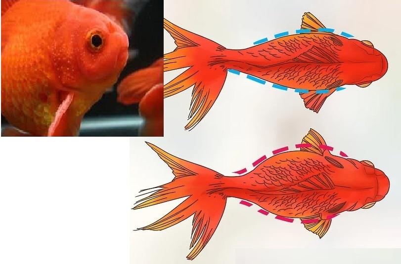 تصویربالا: برآمدگیهای تولیدمثلی بر روی آبشش ماهی نر