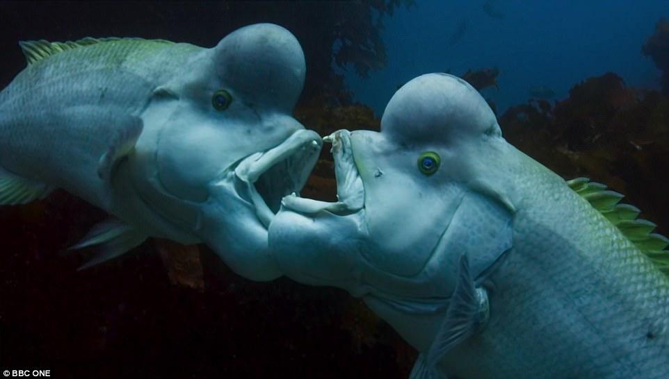جثه ماهی، نقش موثری در تعیین پیروز مبارزه است