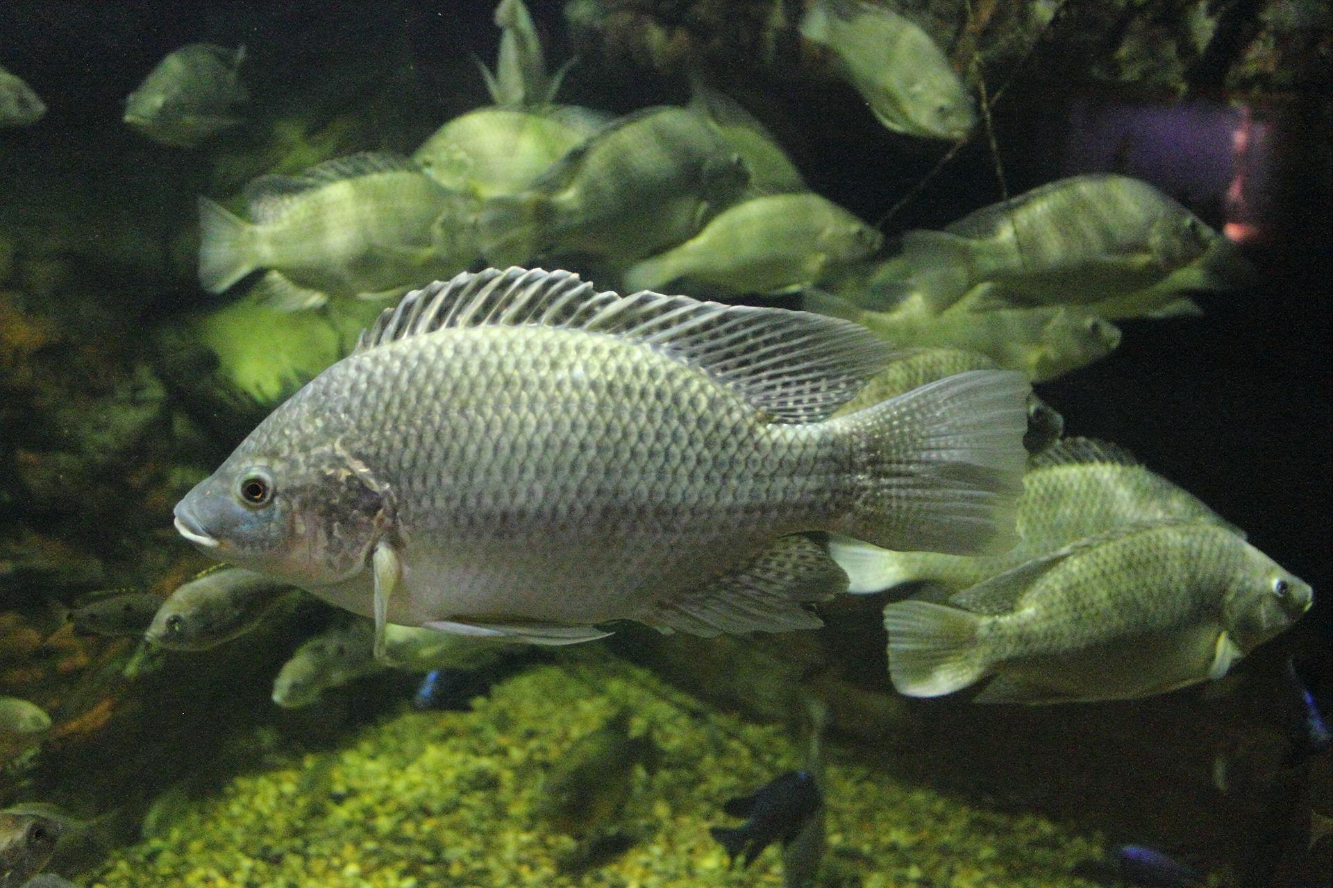 ماهی Tilapia zilli