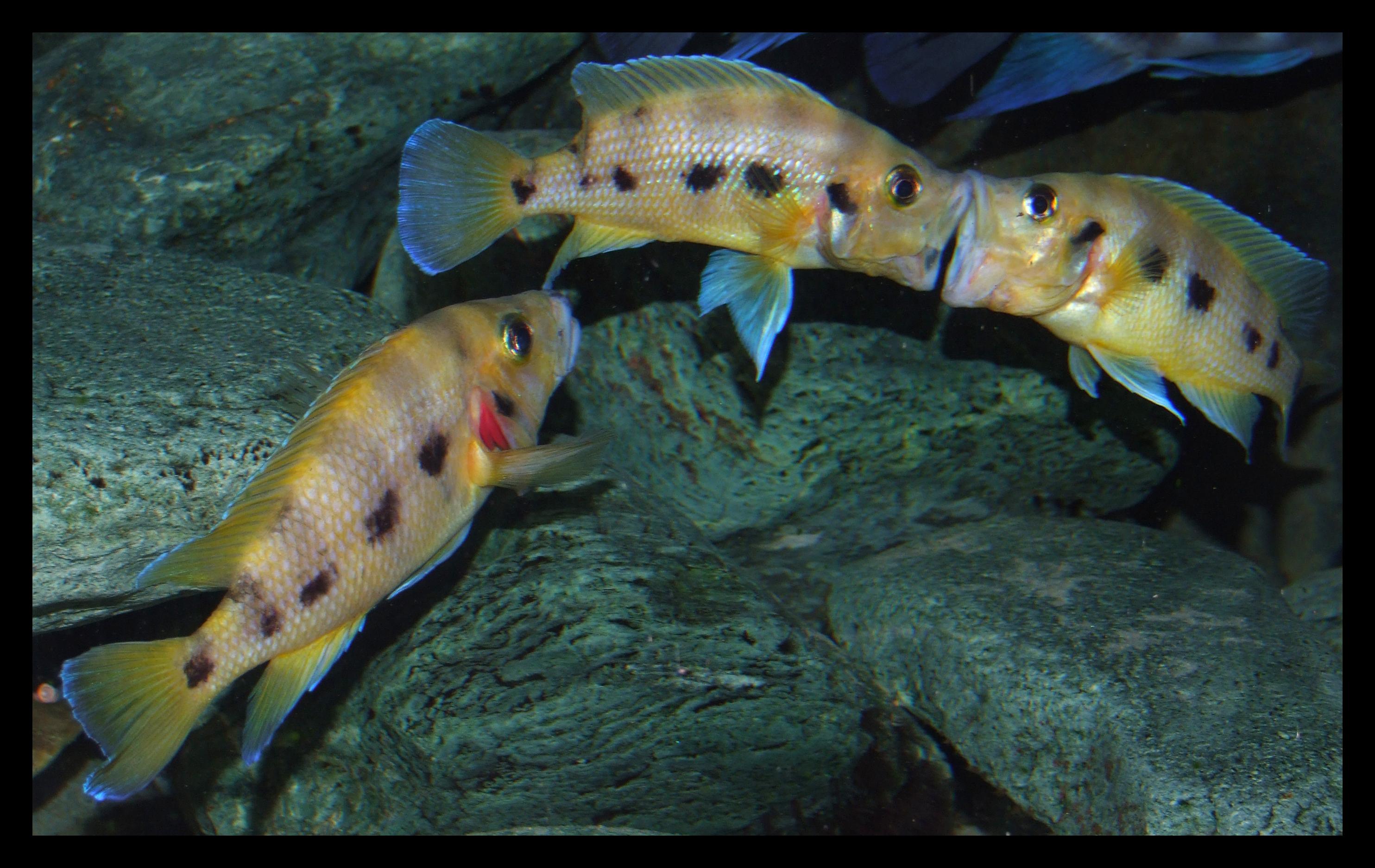 ماهی ها در حین مبارزه هوشیاری کمتری نسبت به محیط اطرافشان دارند