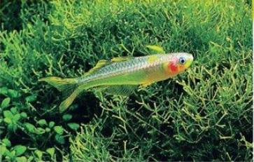 ماهی رنگین کمان دم چنگالی