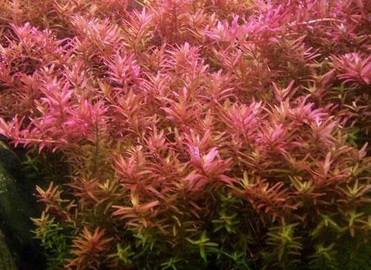 گیاه روتالا روتاندوفیلیا