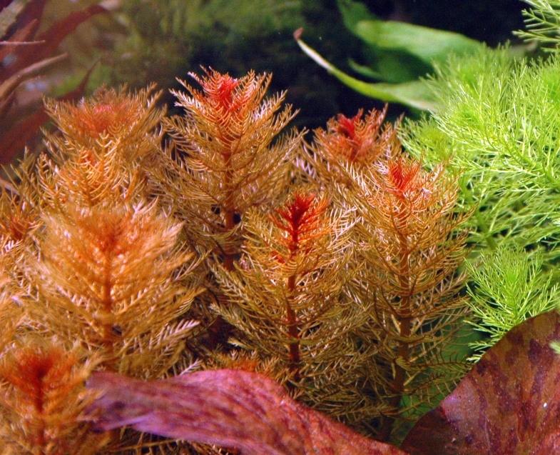 گیاه میروفیلیوم