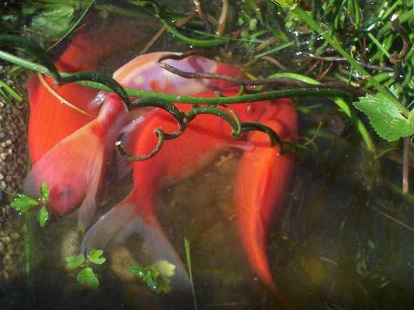 گلدفیشها در حال تخمگذاری در برکه