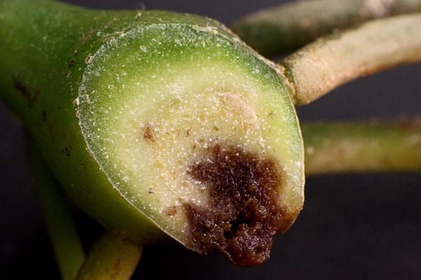 باشدت گرفتن بیماری، بافت گیاه نیز درگیر میشود