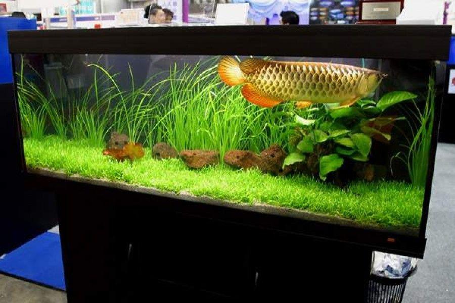نگهداری آروانا در تانک گیاهی ایده مناسبی برای جلوگیری از انعکاس نور از کف تانک است