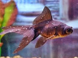 بیماری سفیدک در ماهی گلدفیش مانند دانههای نمک پخش شده است