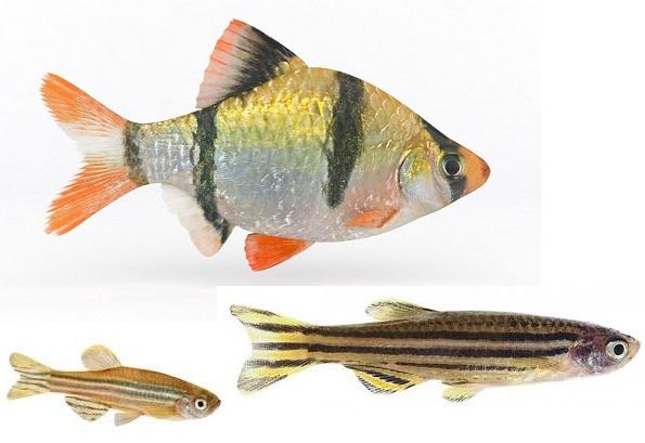 با توجه به مقاومت زیاد، تایگر بارب و زبرا دانیو ماهی های مناسبی برای شروع سیکل می باشند.