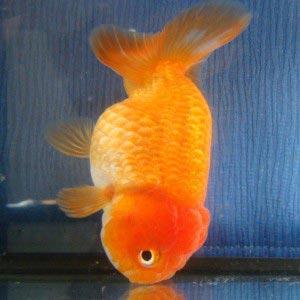 مشکل کیسه شناوری در برخی مواقع به قدری پیشروی میکند که ماهی کاملا تعادل خود را از دست میدهد