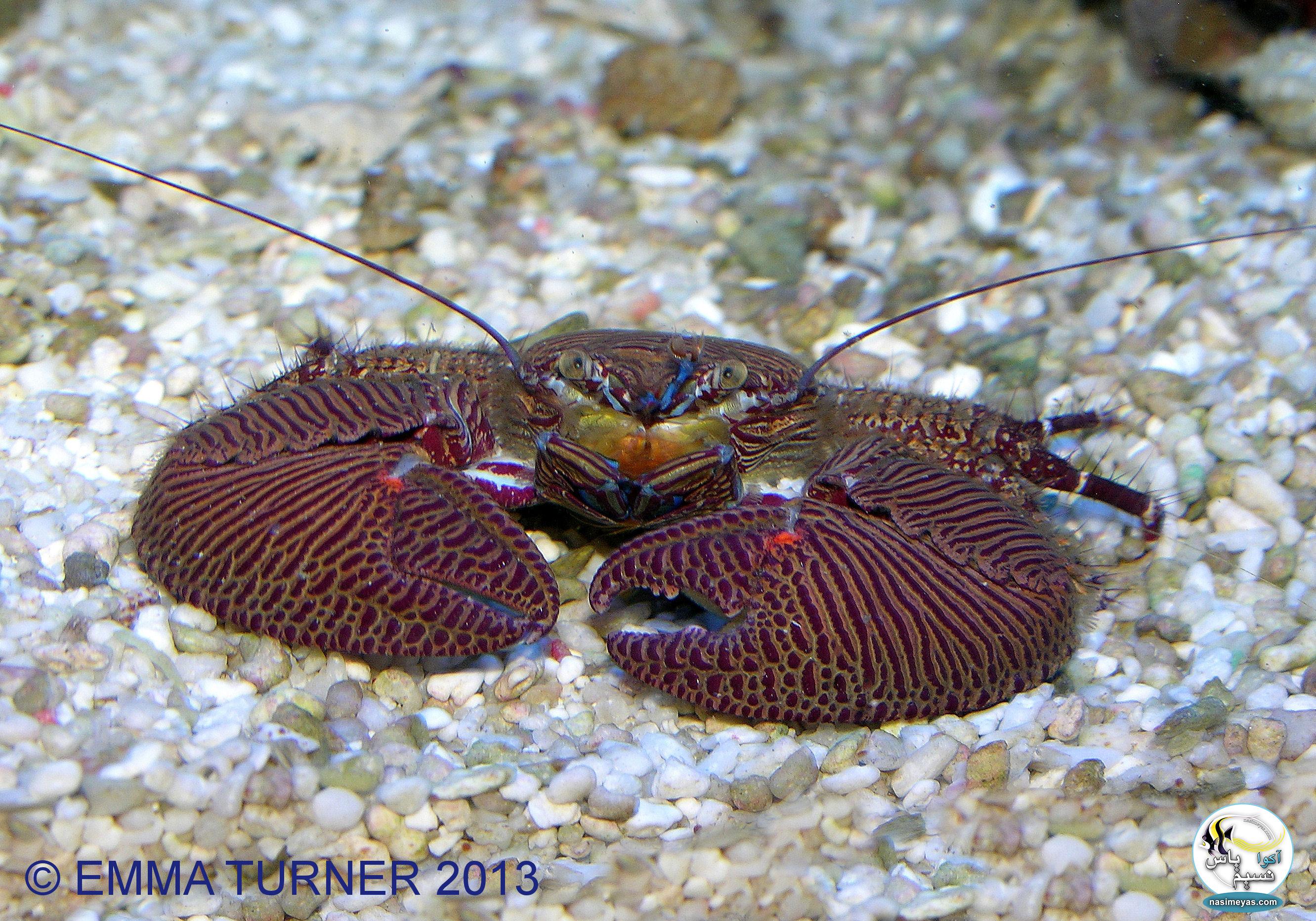 نمونه ای از خرچنگ چینی(porcelain crabs )