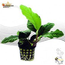 گیاه آنوبیاس کافه فولیا