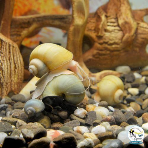 •حلزون های مرموز (Mystery Snails )