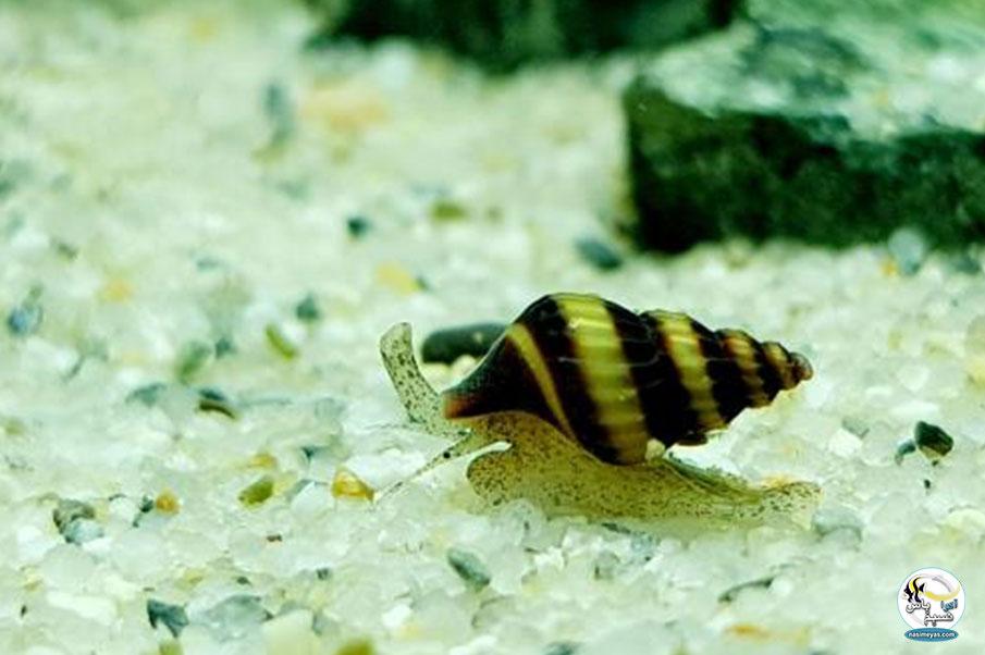 حلزون های قاتل یا آدمکش ( Assassin Snails )