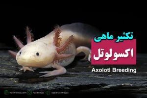 تکثیر ماهی اکسولوتل