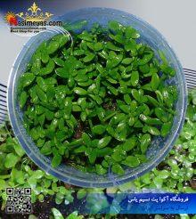 گیاه باکوپا استرالیایی پلنت کد 631