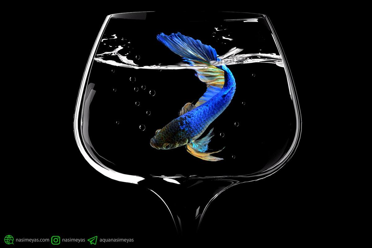 بازی کردن با ماهی فایتر (بخش دوم) و آشنایی با دوازده گونه زیبای آن