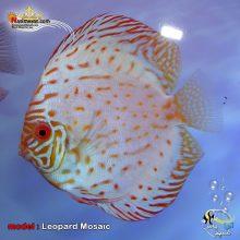 ماهی دیسکاس لئوپارد موزاییک گرید بالا