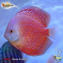 ماهی دیسکاس اسنو اوراپشن گرید بالا