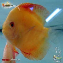 ماهی دیسکاس رد رز