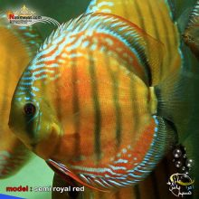 ماهی دیسکاس صیدی سمی رویال رد گرید بالا