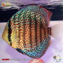 ماهی دیسکاس ترکیوز های بادی گرید بالا
