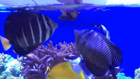 ماهیان آکواریوم در حال تغذیه
