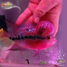 ماهی فلاور هورن درجه یک کد ۱