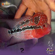 ماهی فلاور هورن درجه یک کد ۲