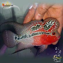 ماهی فلاور هورن درجه یک کد ۴