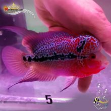 ماهی فلاور هورن درجه یک کد ۵