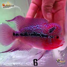 ماهی فلاور هورن درجه یک کد ۶