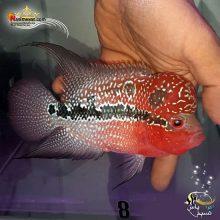 ماهی فلاور هورن درجه یک کد ۸