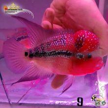 ماهی فلاور هورن درجه یک کد ۹