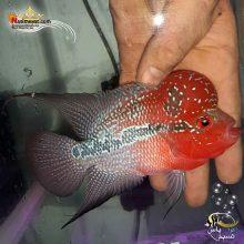 ماهی فلاور هورن درجه یک کد ۱۰