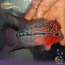 ماهی فلاور هورن درجه یک کد ۱۱