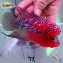 ماهی فلاور هورن درجه یک کد ۱۳