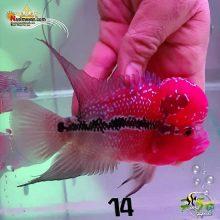 ماهی فلاور هورن درجه یک کد ۱۴