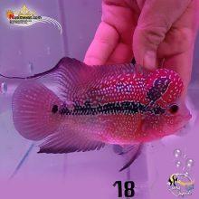 ماهی فلاور هورن درجه یک کد ۱۸